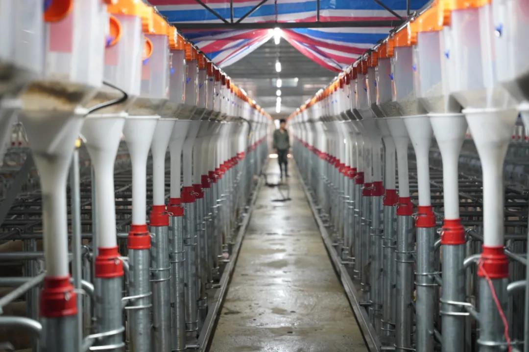 猪价大跌64%,牧原也扛不住了!好消息:17省开展猪肉收储!
