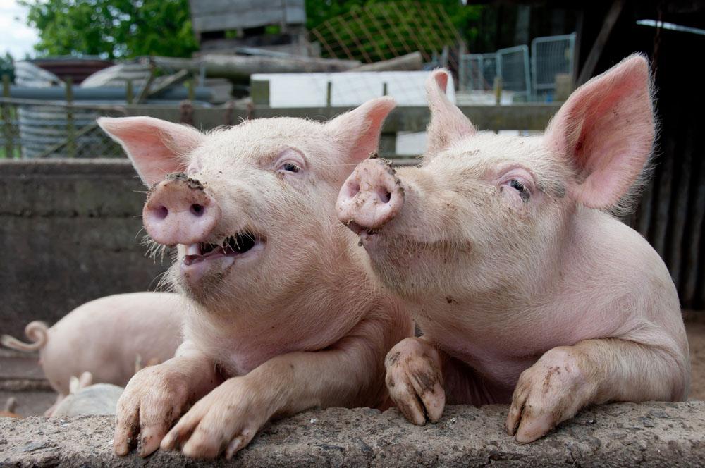 发病母猪流产率仍高达40%,如何做到蓝耳净化?