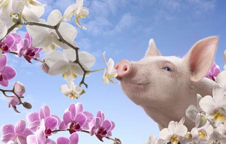 """长期依赖进口,八成生猪是""""洋种"""",如何破局?"""