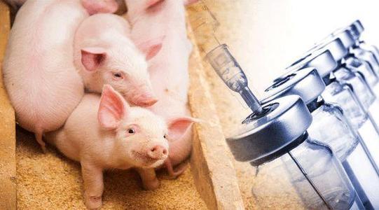 养猪人速速收藏!尾部采样方法在非洲猪瘟样品采集中的应用