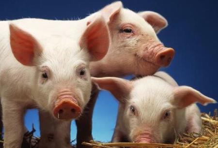 16家上市企业8月份共销售生猪807.59万头,环比减少3.85%