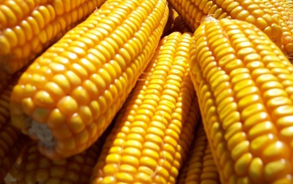 玉米现货持续下跌,周度跌幅0.30%!底部1.2元?