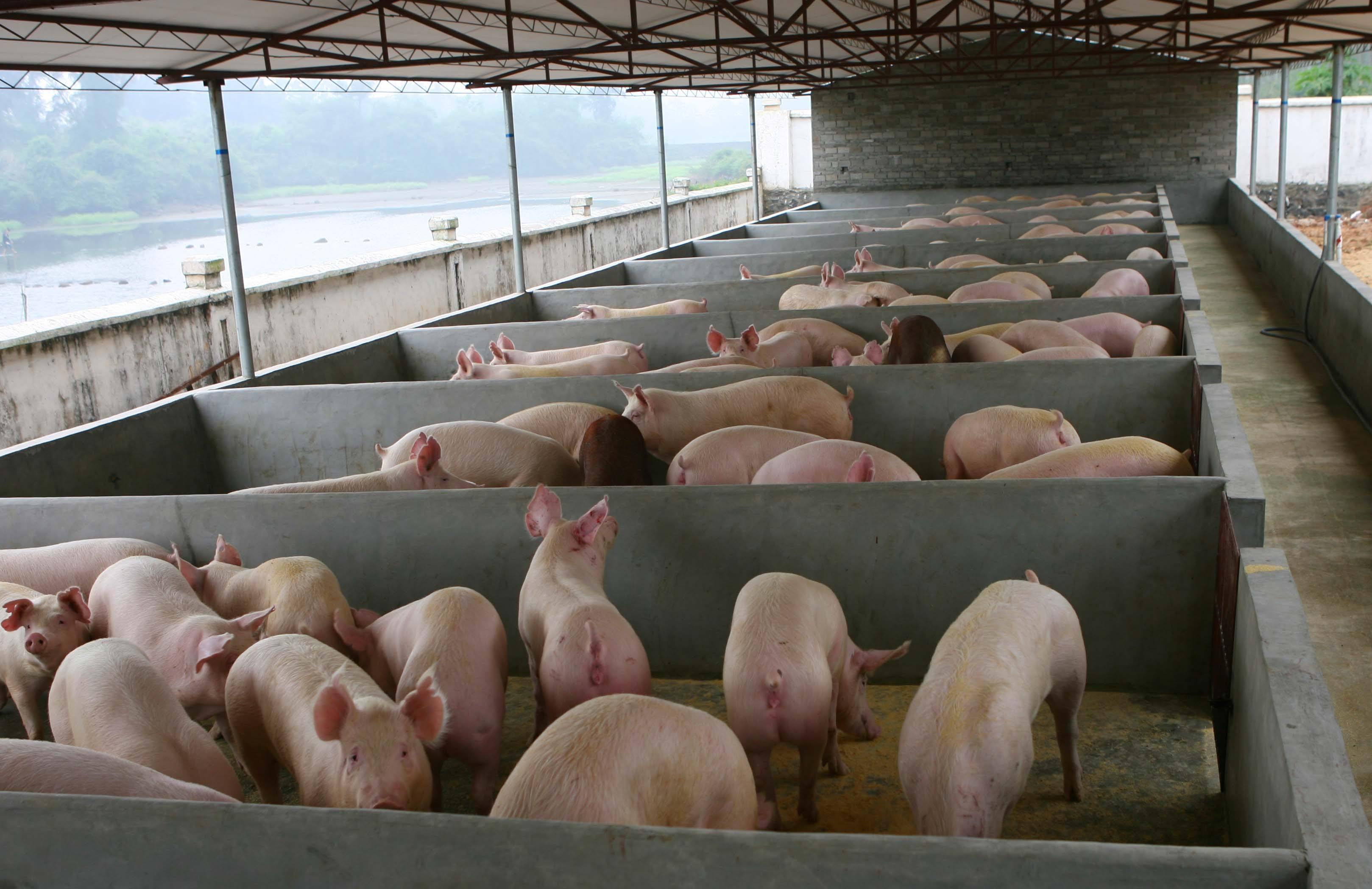 在大型猪场工作两年,自己回家做养殖是不是比打工强?大家觉得怎么样