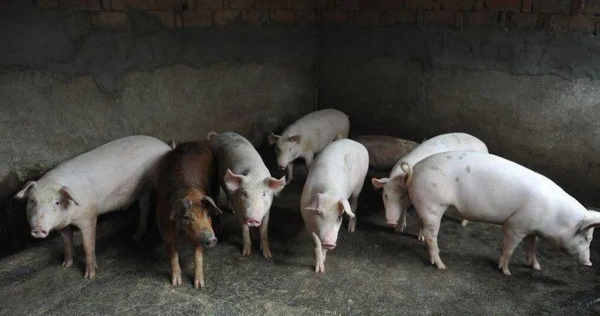 """面对""""3大压力"""",养猪户尤其是存栏100头以下的猪场一定要提前做好准备"""
