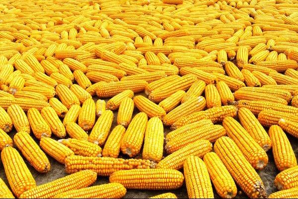 玉米价格下跌波及猪价!猪价寒冬期的时间恐怕比预期的还要长得多!