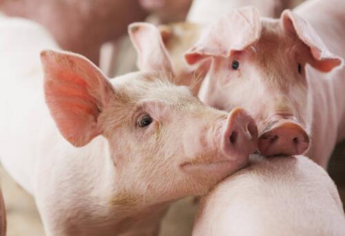 案例分享!安律欣®在猪场3周批批次生产中的应用