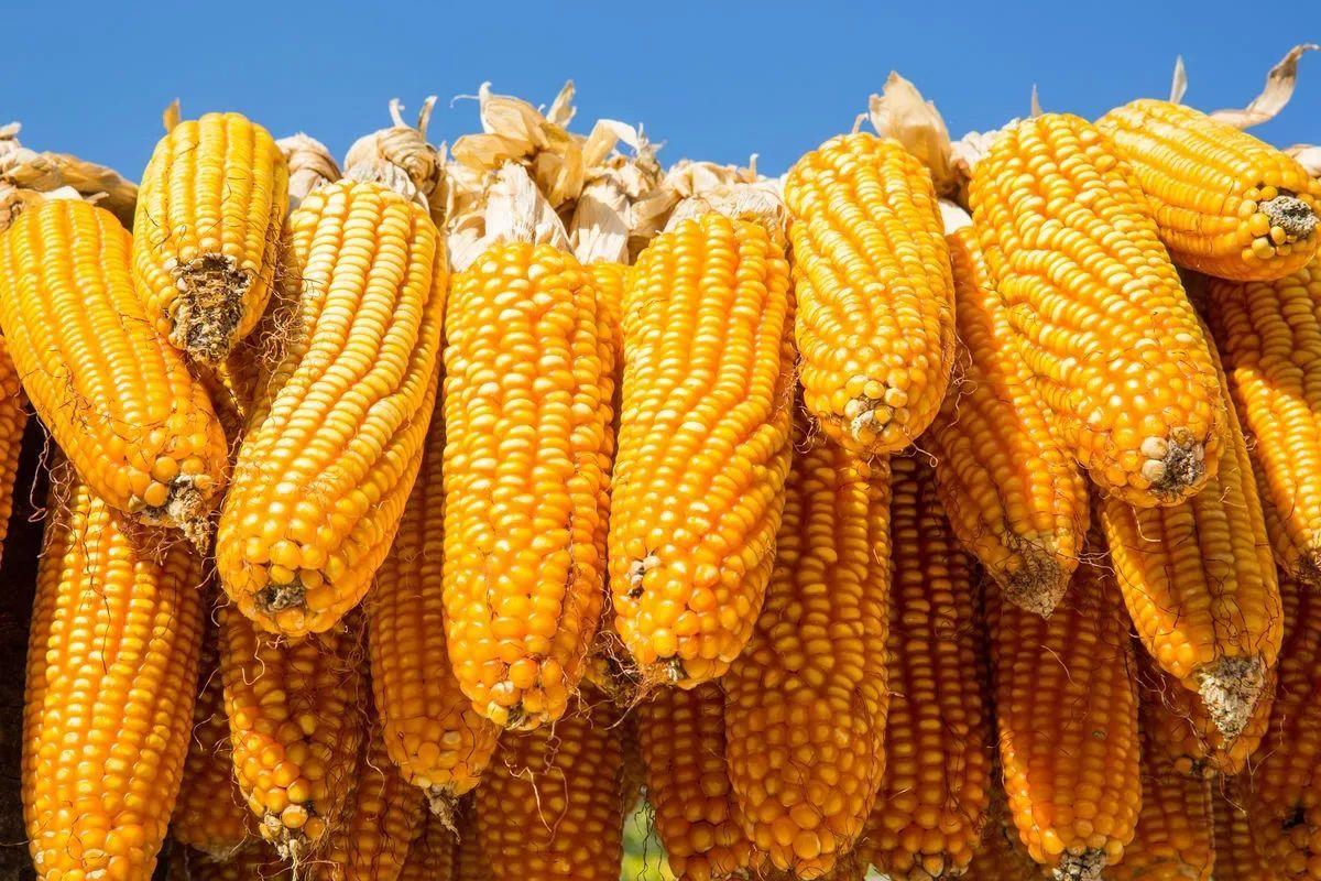 新作产量增加,替代压力较大,玉米市场价格仍未见底