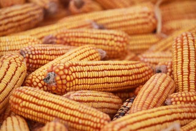 """玉米跌落1.3元/斤!接下来的走势,有3个""""谜团""""待解开"""