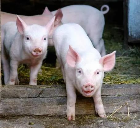 2021年09月20日全国各省市20公斤仔猪价格行情报价,养殖端不看好后市,仔猪需求不足,整体呈下跌态势