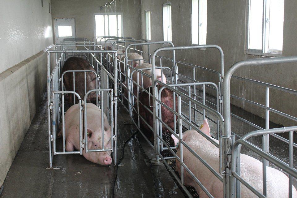 规模猪场如何选留合格的后备猪?选留后备种猪的基本原则有哪些?