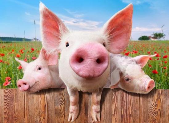 猪价跌破成本线!仔猪低至150元/头,现在补栏,养猪能不能赚钱?