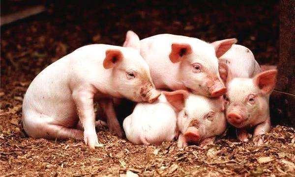 新生仔猪如何做好保温,兽医老王教你详细操作,养猪人要学会!