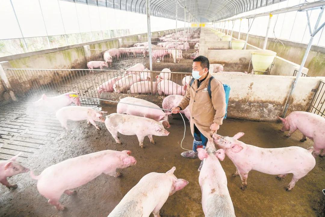 猪场生物安全工作漏洞有哪些?