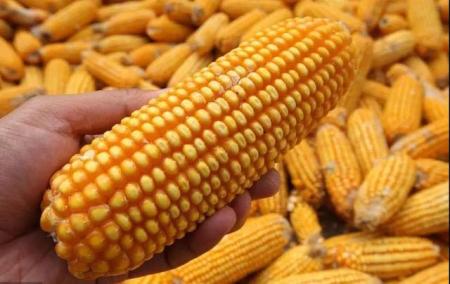 玉米期货价格每吨上涨28元,涨势爆发了?