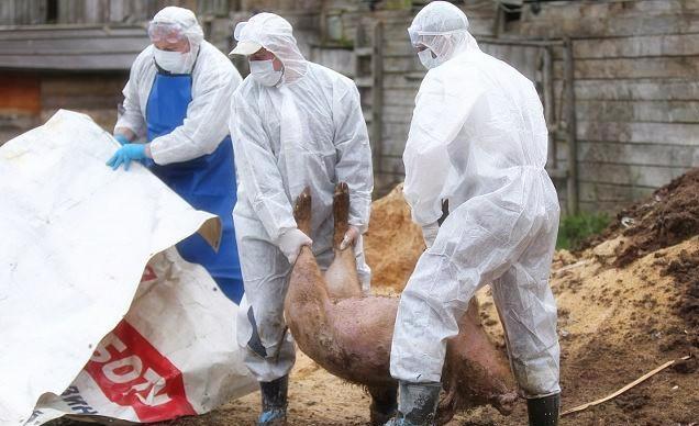 厉害了!中国使馆捐赠帮助多米尼加抗击非洲猪瘟!