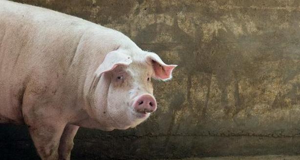 2021年09月23日全国各省市内三元生猪价格,呈现震荡下跌走势,生猪产能加速!