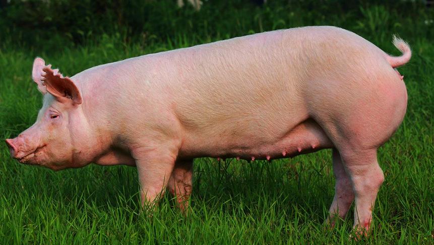 2021年09月26日全国各省市种猪价格报价表,生猪产能创历史新高,种猪价格持续下跌