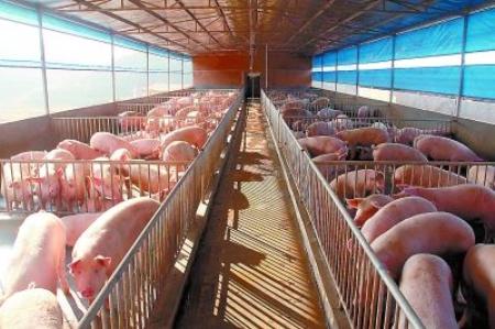规模化猪场的建设原则:布局要合理,管理要方便,实用性要强