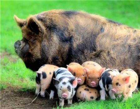 第一次听说!在猪场可以用白酒催乳、促进母猪发情、防止中暑,养猪人你知道吗?