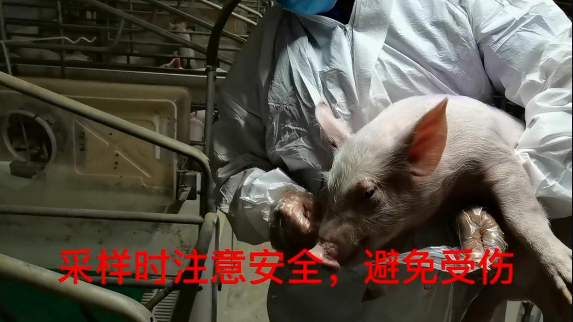 猪场发生口蹄疫了,可以学学这几点应急措施,保证有用