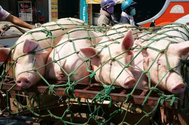 私屠滥宰生猪、违法调运、丢弃病死猪都属于违法行为,养殖户们需要注意