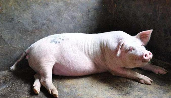 当代养猪场的流行猪病都有什么新特点?和以往相比又有何变化?