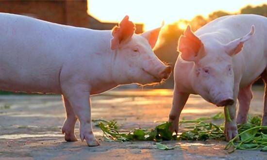 传播速度快、传染性强!秋冬季节猪口蹄疫的防控策略来啦!
