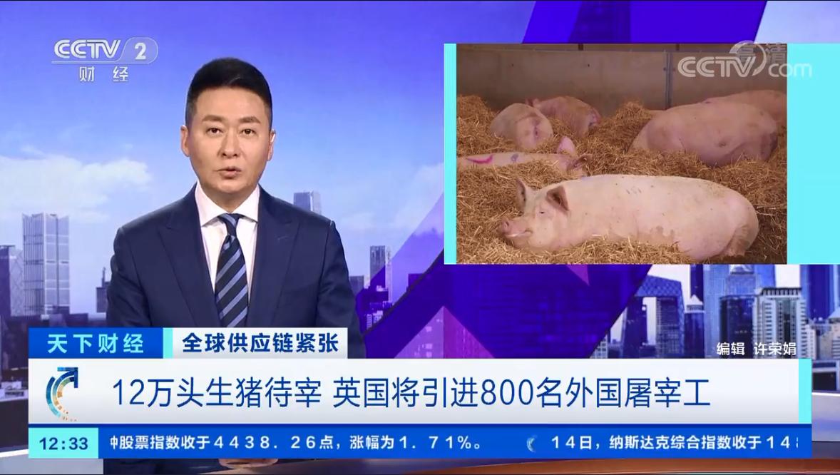 """""""猪满为患"""" 英国12万头生猪待宰 将引进800名外国屠宰工"""