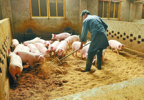 后天弱仔猪产生的原因?如何预防后天弱仔猪?