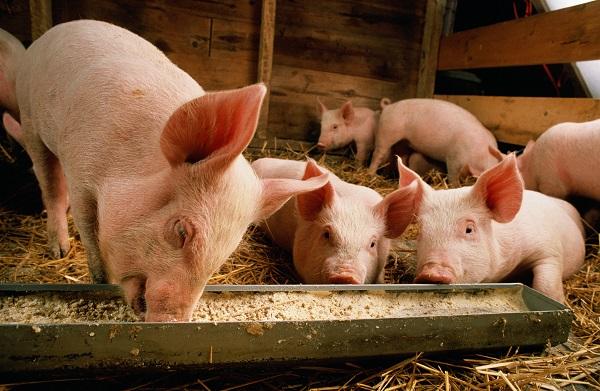 速度收藏!猪场4种常见饲料中毒的应急处理措施,养猪人都用得到!
