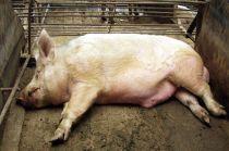 秋冬季猪病增多,如何通过外在特征及早判断猪有没有生病?