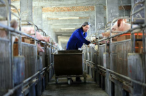 猪企纷纷巨亏,最高预亏80亿元,猪肉股却不跌反涨,看好四季度行情?