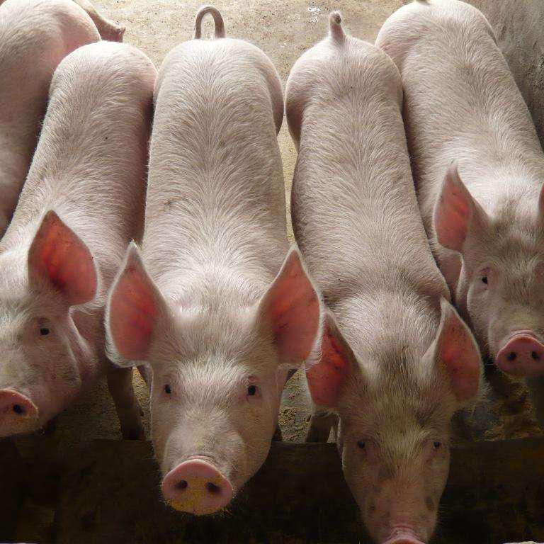 因为换料而引起猪采食量降低的现象,大家都是怎么处理呢?