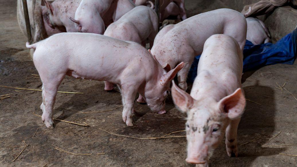秋冬季节育肥猪的保健措施