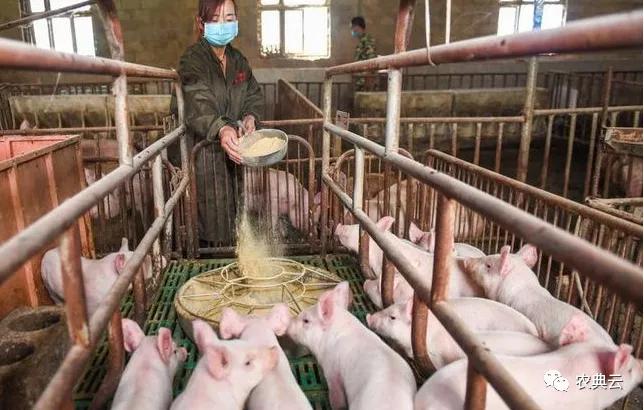养猪人赶快收藏起来!猪饲料配方表配料详细比例