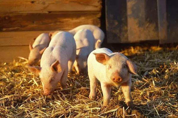 秋冬季气温较低,用这些方法帮助猪舍防寒保暖吧!