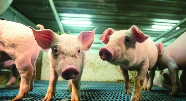 蓝耳病防控新思路!用空气过滤系统可有效降低猪蓝耳病的爆发!
