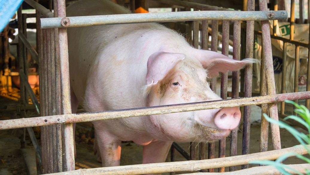 母猪脱宫的紧急处理措施!母猪场老板值得收藏