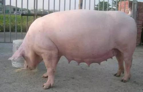 如何判断母猪是否恢复完好?母猪产后护理看似简单,实则需要细心、耐心和经验!