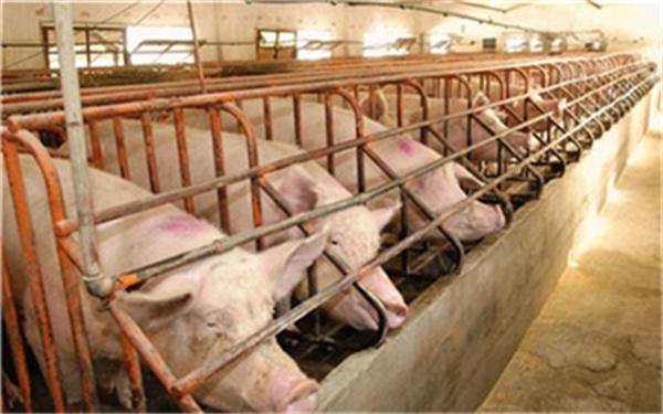养猪人必看!生猪养殖中如何高效地使用饲料?