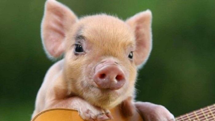 10月22日10公斤仔猪价格:猪市只缺肉不缺猪?仔猪市场缓慢回暖?