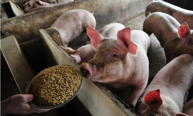 猪场如何选择饲料?猪爱吃干粉料、湿拌料还是颗粒料?