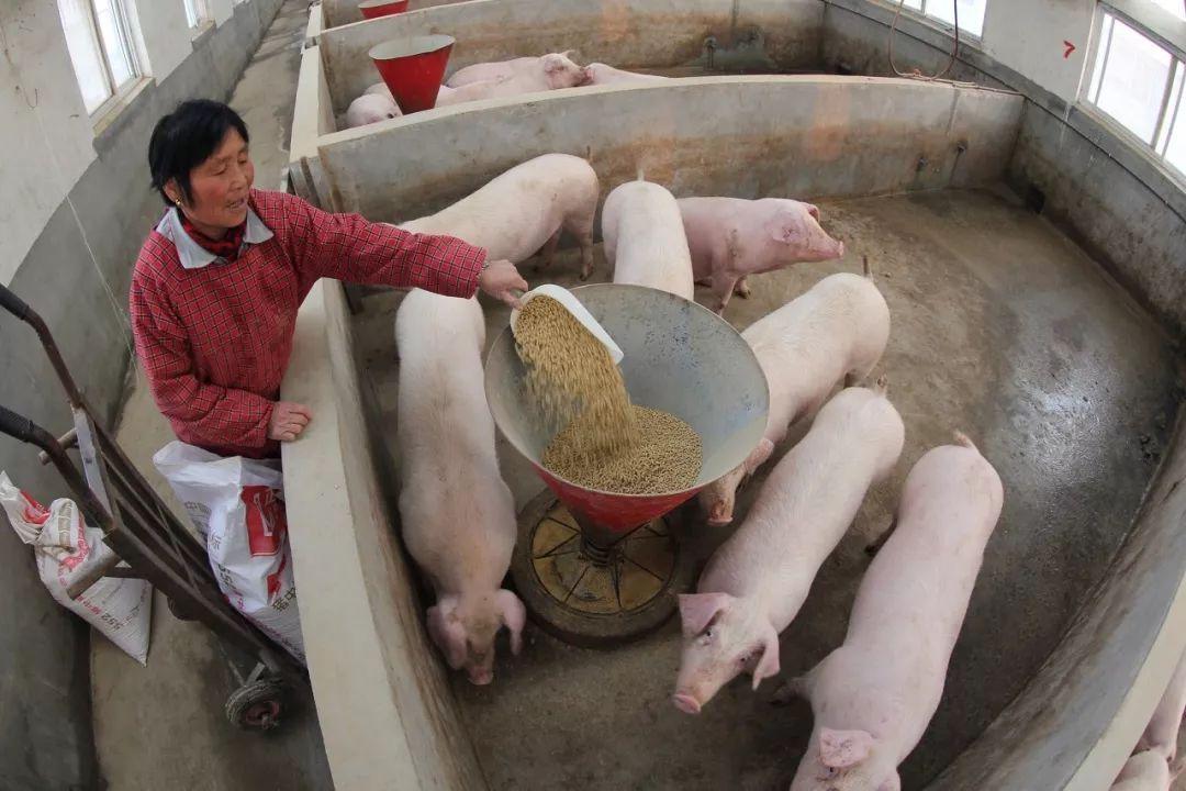 """猪价超跌大涨,潜藏下挫风险?养殖户要谨防猪价跌成""""一地猪毛"""""""
