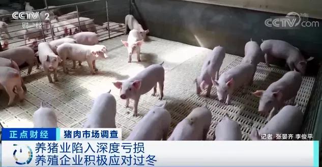 央视财经:养一头猪亏上千元!养殖企业9个月赔掉10年利润!持续反弹有压力,猪价何时会见底?