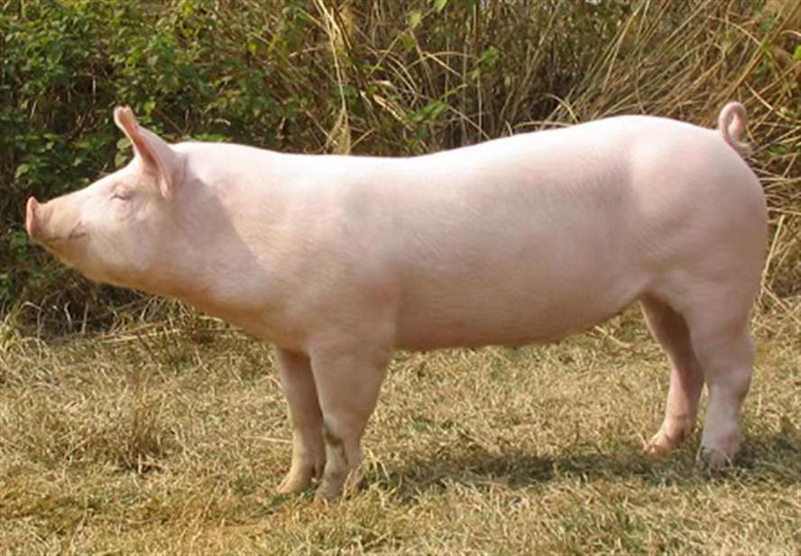 2021年10月24日全国各省市种猪价格报价表,去产能加快,种猪价格随之上涨