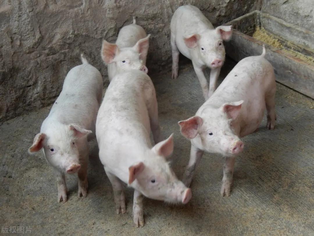 猪价涨疯,破8冲9,供需两端齐发力!猪价继续猛涨?