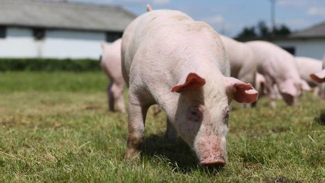 价格已接近成本线,预计猪价上涨速度会减缓