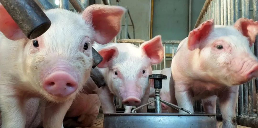 寒潮来袭,猪场一定不能忽略这几点——双胞胎集团