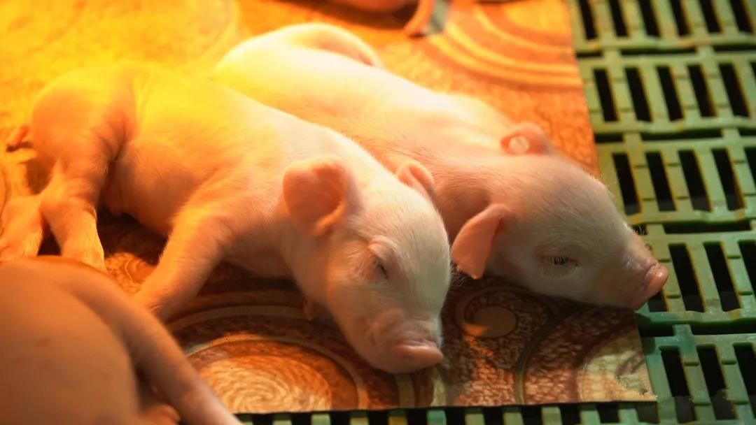 如何判断猪只脱水的程度?看,猪严重腹泻补水有妙招!