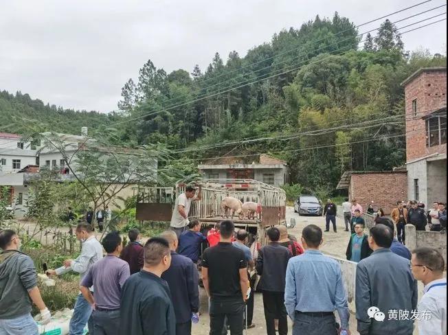 禁养区养猪,梅州一养殖户生猪被强制清栏!